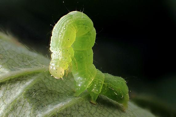 ウワバの幼虫再び