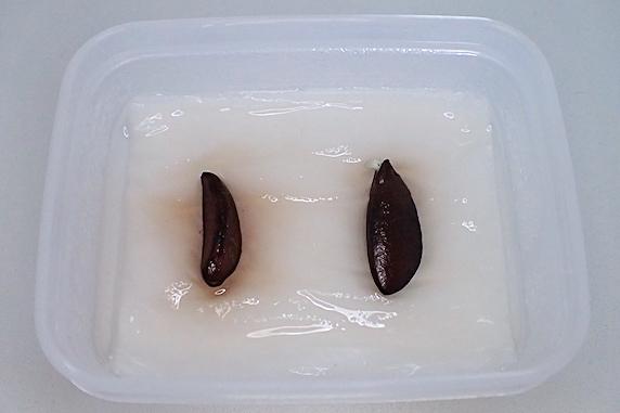 妙丹柿の種が発根!