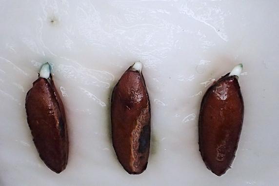 予備の3個もフル発根の妙丹柿