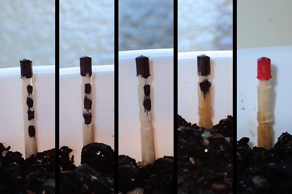 発芽を願う5鉢の妙丹柿