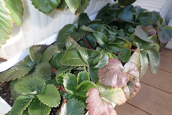 冬の四季なりイチゴと九条太ネギ