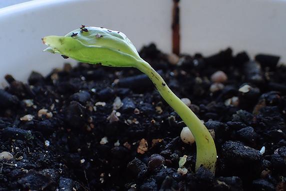 蘇生した妙丹柿の芽