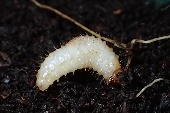 ワイルドストロベリー移植時に幼虫発見