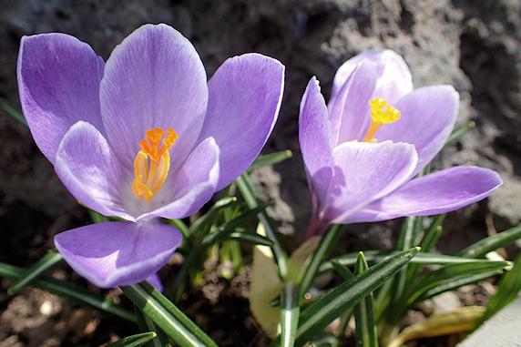 紫のクロッカス開花