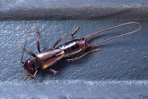 ハサミムシの幼虫発見