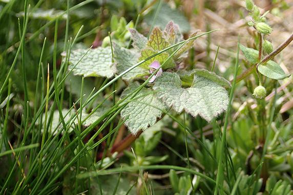 ヒメオドリコソウ咲く