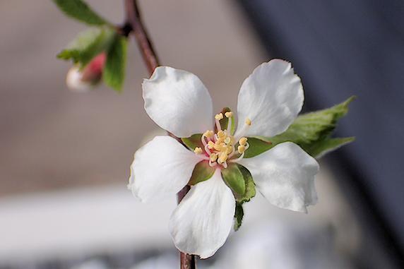 ユスラウメ開花