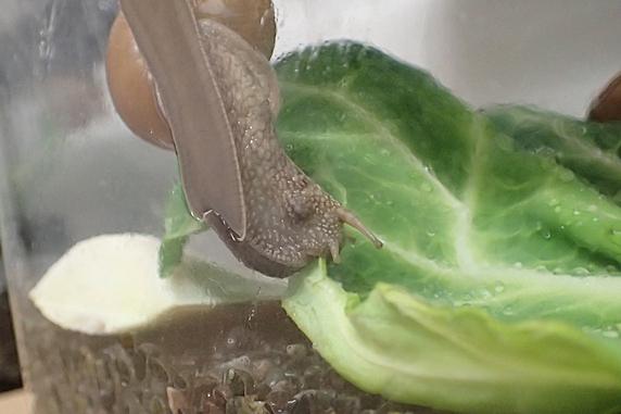 キャベツを食べるカタツムリのいろいろ