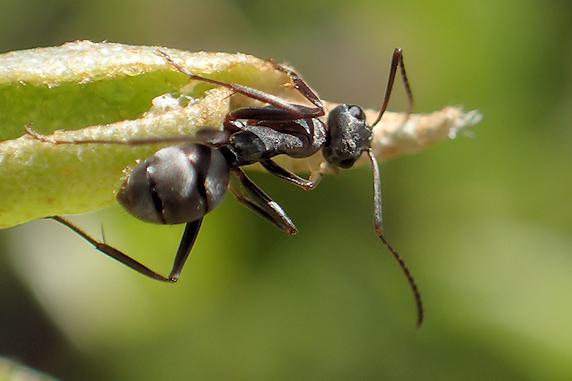 蜜を舐めるクロヤマアリ