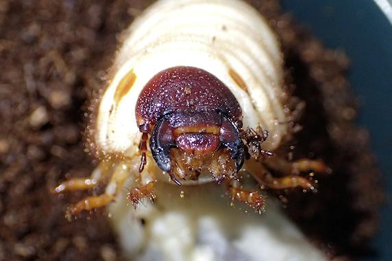 カブ幼虫マット交換実施