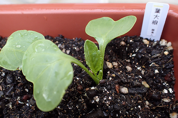 いろいろ発芽中のベランダ菜園