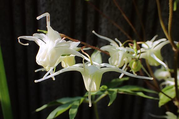 キバナイカリソウ開花