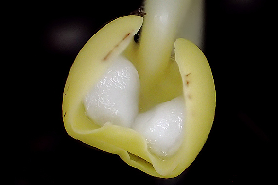 オシロイバナ発芽