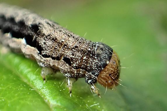 小梅にスモモキリガの幼虫発見