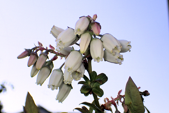 ブルーベリー開花中