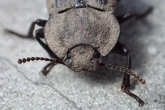 ドヤ顔のスナゴミムシダマシ
