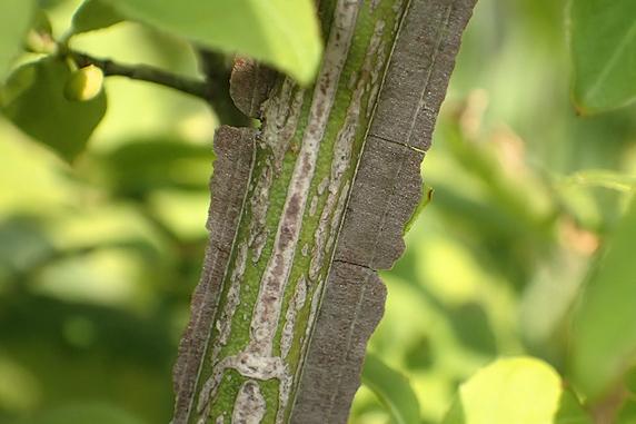 ニシキギの蜜を吸うニジュウヤホシテントウ