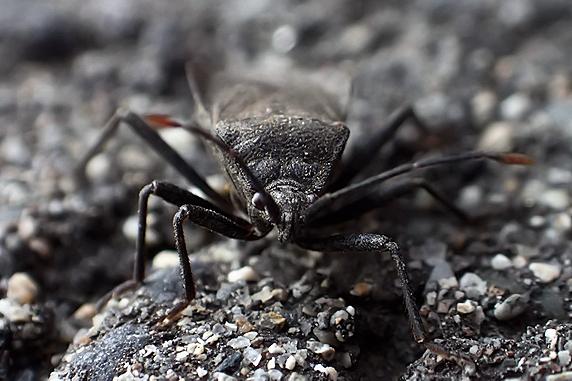 オオツマキヘリカメムシ参上