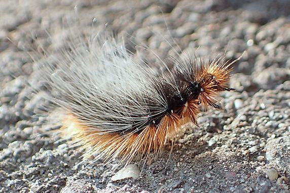 ヒトリガの幼虫の疾走