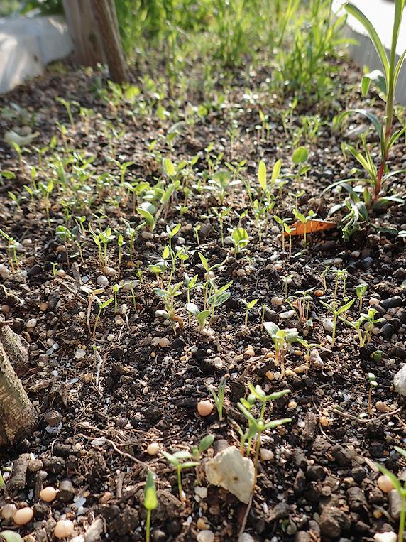 いろいろ発芽中の野原風花壇
