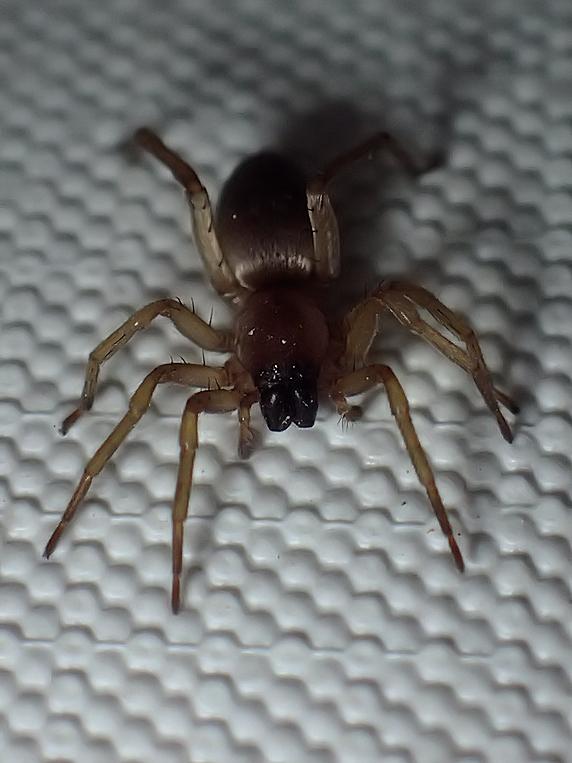 身近なクモ、メガネヤチグモ