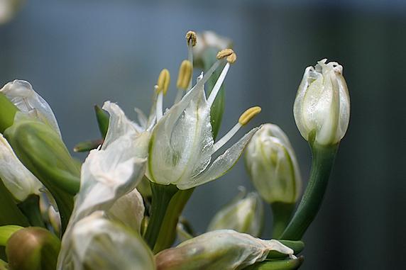 サンガイネギに花が咲く