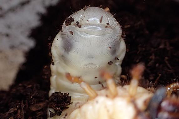 ガリガリかじるカブ幼虫