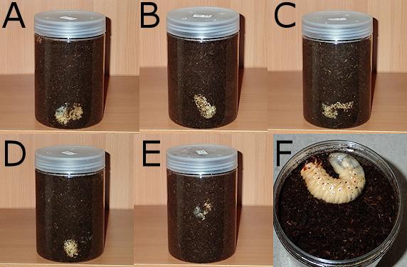 蛹室造成のためのマット調整実施
