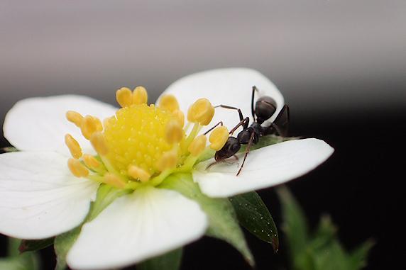 ワイルドストロベリーの蜜をなめるアリ
