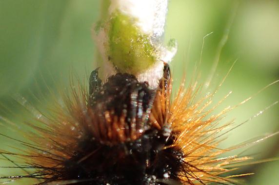 ヒトリガの幼虫が野原風花壇に移住