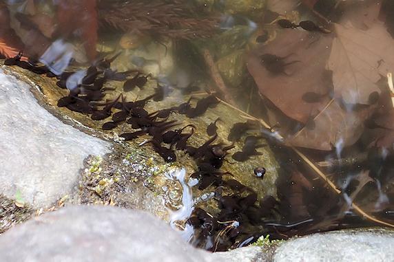 アズマヒキガエルのオタマジャクシ