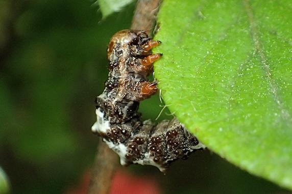 鳥のフンに擬態するオカモトトゲエダシャクの幼虫