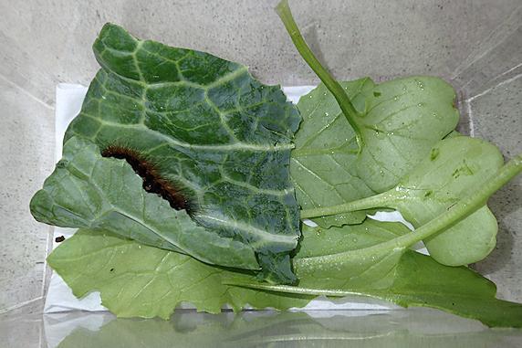 ヒトリガの幼虫を保護