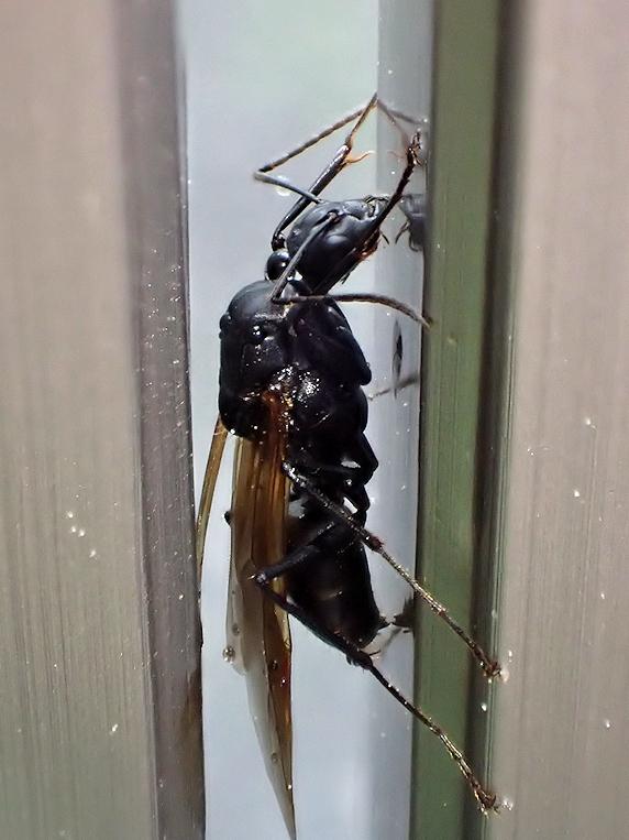 雨宿りをするクロヤマアリの雄アリ