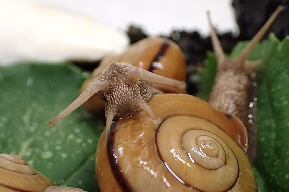 小松菜を食べるカタツムリ〜その1