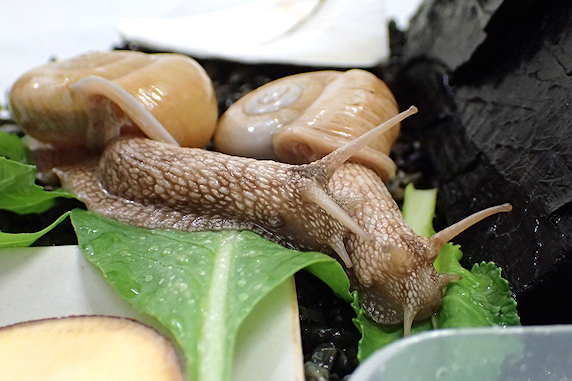 小松菜を食べるカタツムリ〜その2