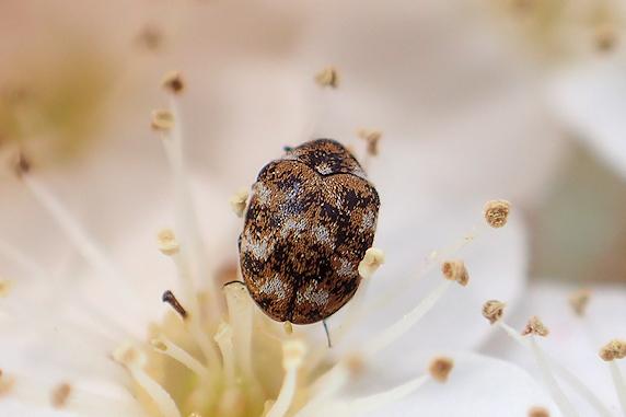 ぶしむしっ!(`・ω・´) ヒメマルカツオブシムシ参上