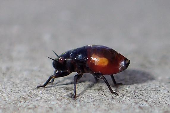 キュウリの汁を吸うシロオビアワフキの幼虫