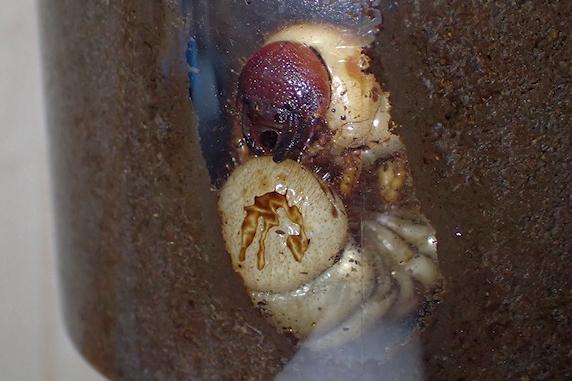 カブ幼虫が前蛹に