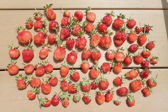 四季成りイチゴの収穫がピーク