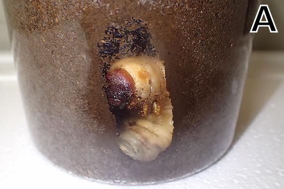 カブ幼虫の2匹が蛹化