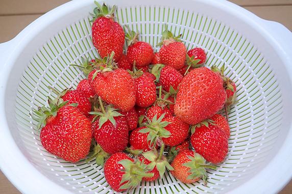 四季成りイチゴの収穫