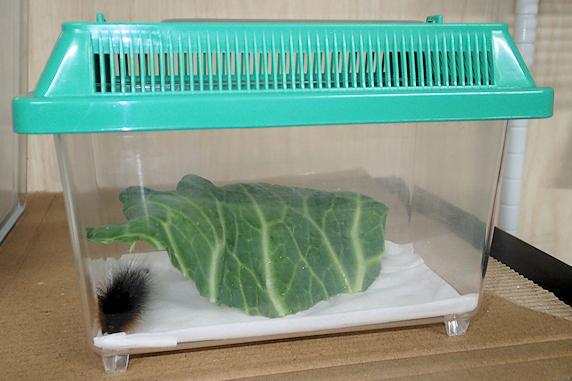 ヒトリガの幼虫が蛹化準備開始