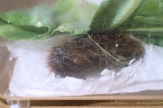 ヒトリガ幼虫の弟も蛹化準備開始