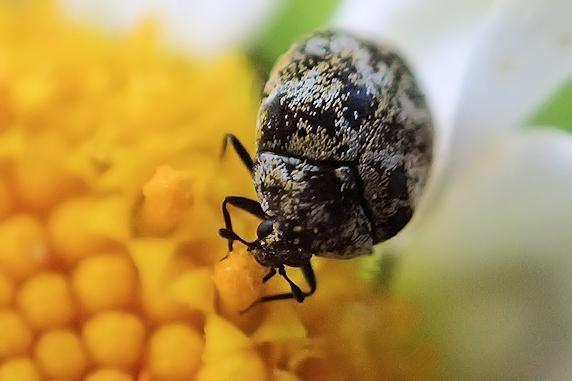 ぶしむしっ!(`・ω・´) 花粉大好きヒメマルカツオブシムシ