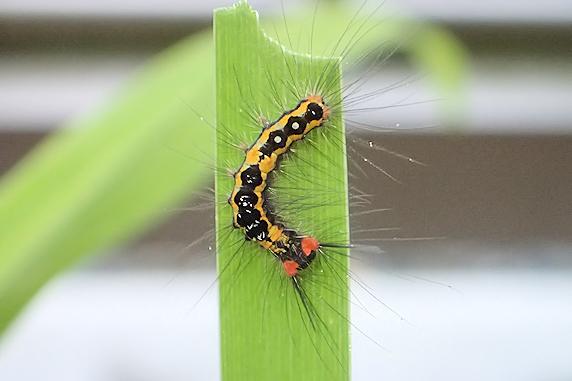 ヒメシロモンドクガの幼虫