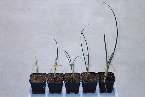 九条太ネギの苗を定植