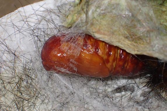 ヒトリガ幼虫の兄貴が蛹化