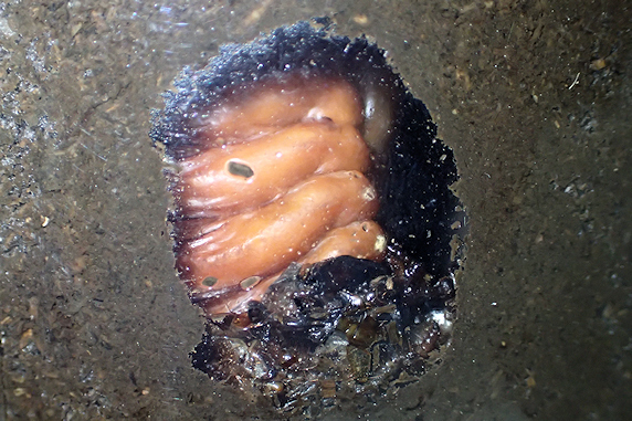 カブ幼虫全頭蛹化