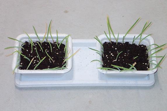 サンガイネギの子ネギを植える